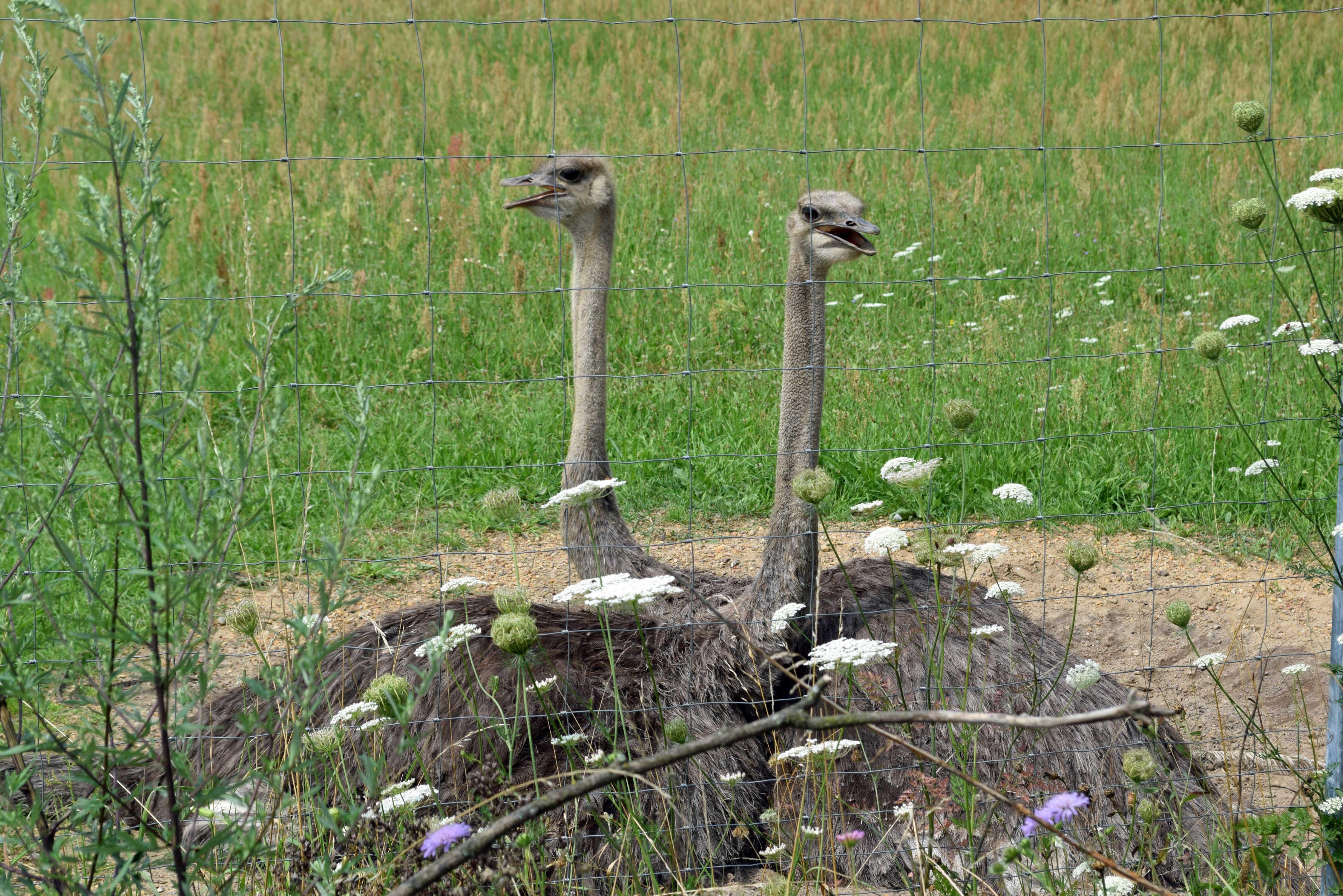 Zwei liegende Strausse mit langen Hälsen, gesehen auf einer Motorradtour zur Straussenfarm Luckau