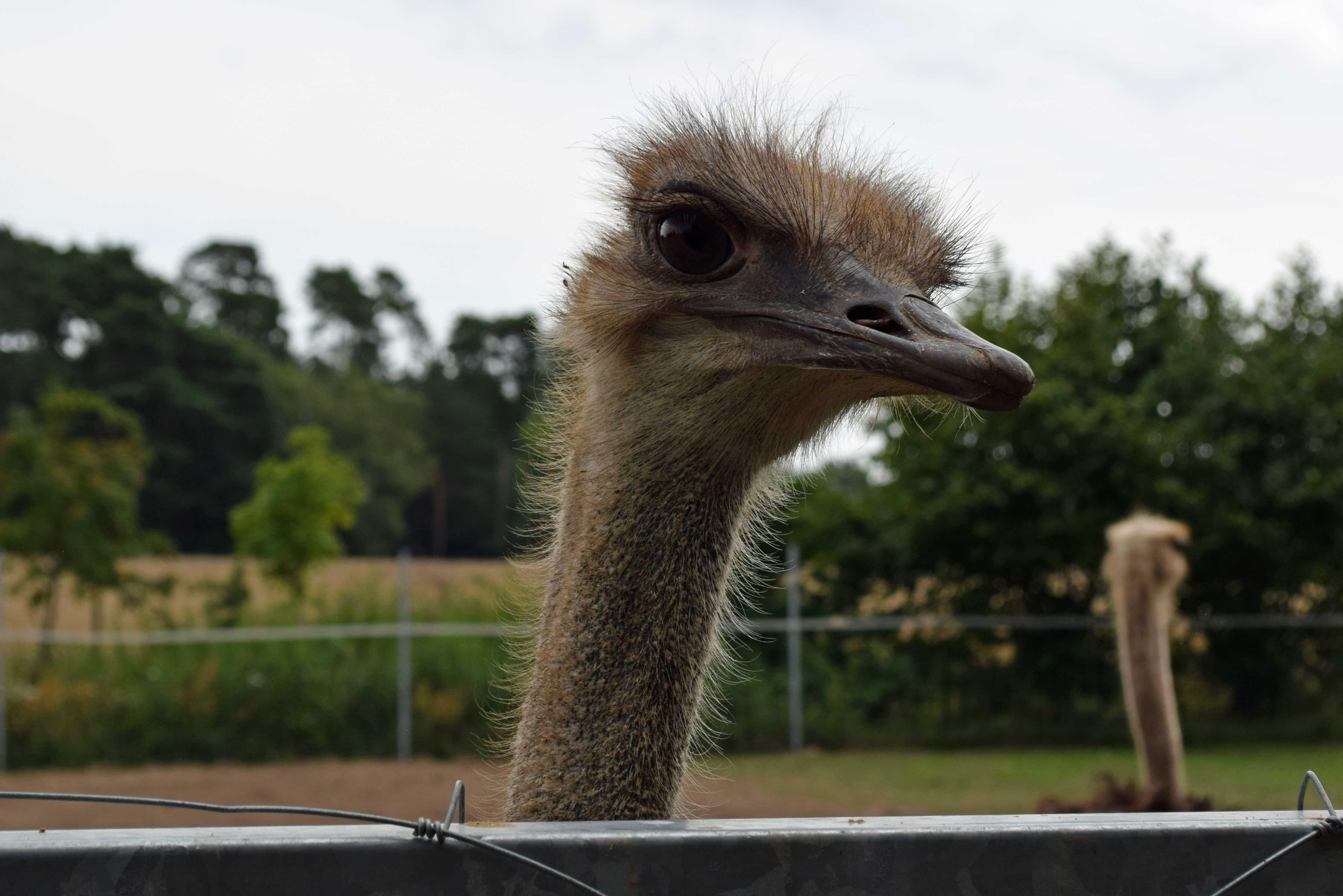 Kopf von einem Strauss, auf der Straussenfarm in Luckau neugierig über den Zaun blickend