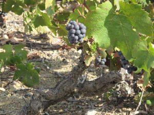 Zeit der Weinernte im Beaujolais