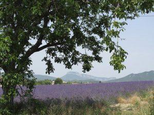 Bild eines Lavendelfeldes in der Drôme provençale mit einem Walnussbaum im Vordergrund