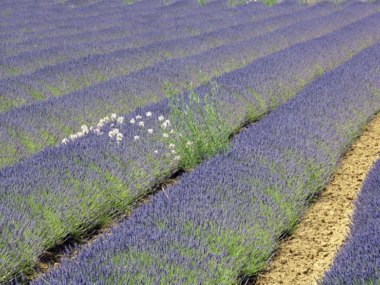 Bild von einem Lavendelfeld auf dem Weg zum Mont Ventoux