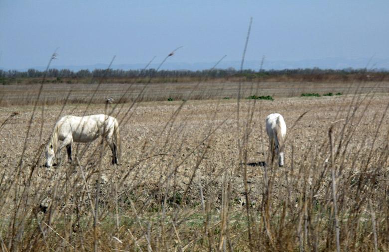 Wilde Pferde im Naturpark Camargue auf der Weide, fotografiert auf einer Motorradtour durch Provence und Camargue