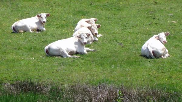 Weisse Charolais-Kühe auf der Weide in Burgund, sich nach dem Betrachter umdrehend
