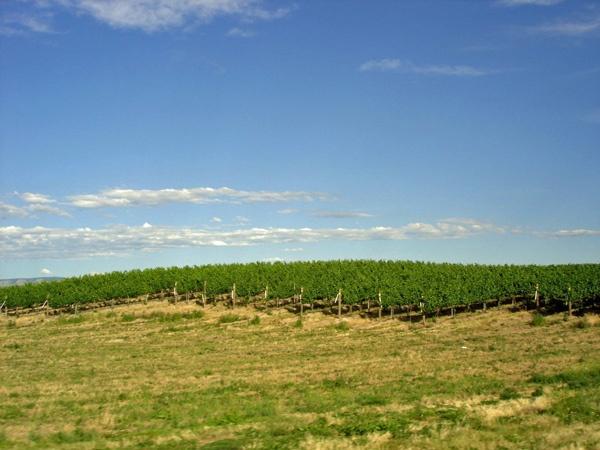 Bild von einem Weinberg in Washington State