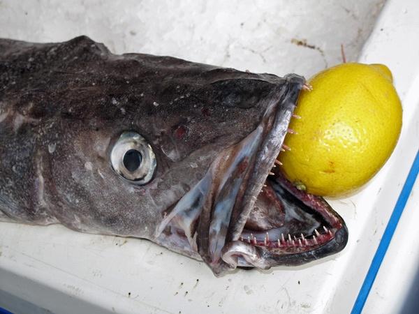 Fisch mit scharfen Zähnen und einer Zitrone im Maul