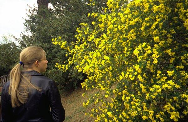 Blühender Ginster in den Abruzzen mit einer jungen blonden Frau