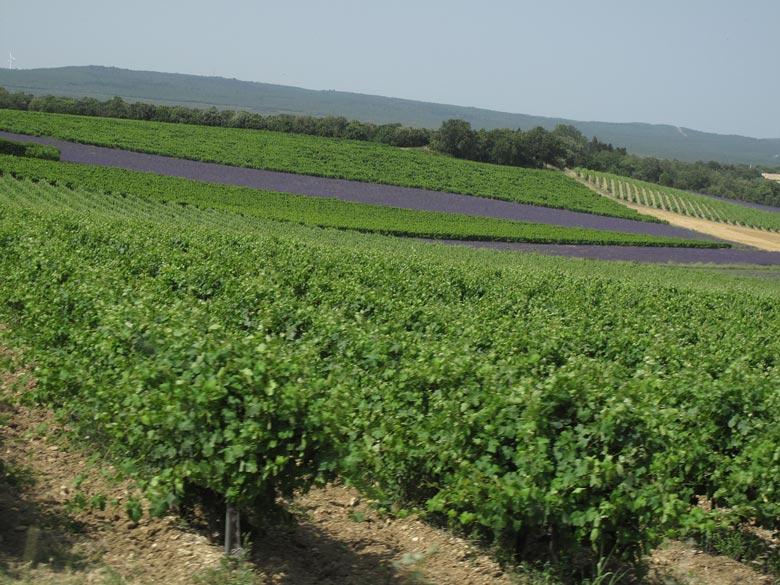 Wein- und Lavendelfelder bei Grignan bei einer Motorradtour in die Drôme Provençale