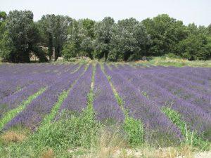Lavendelfeld in der Drôme provençale