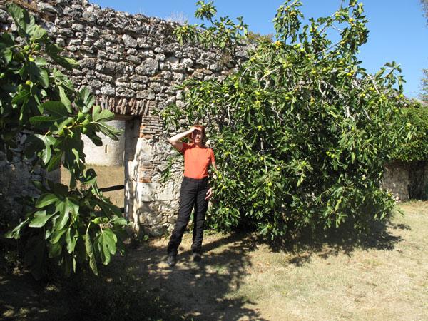 Feigenbäume im Park von Bild der Feigenbäume im Park von Schloss Montaigne in der Dordogne (Südwestfrankreich) mit einer rothaarigen Motorradfahrerin in orange Hemd und schwarzer Kombi